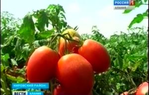 Сельхозпроизводители Северной Осетии осваивают новые сорта помидоров