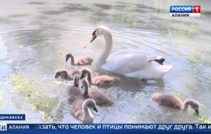 Впервые за долгое время в Центральном парке Владикавказа лебеди принесли потомство