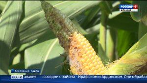 Хлопковая совка атакует поля Северной Осетии