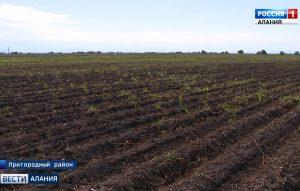 Северная Осетия постепенно наращивает объемы производства картофеля