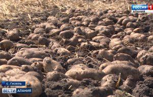 В Северной Осетии впервые проходит Всероссийский день картофельного поля