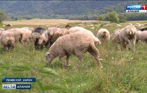 В республике активными темпами развивается овцеводство