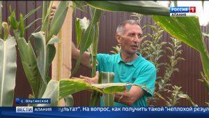 В Ольгинском вырастили кукурузу, которая может попасть в Книгу рекордов России
