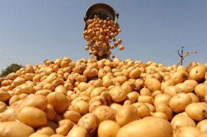 В Северной Осетии прогнозируют увеличение урожая картофеля в 2019 году