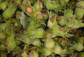 Единственная на Северном Кавказе плантация фундука увеличит производство в 5 раз