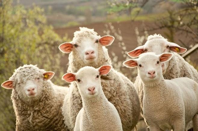 На развитие овцеводства в Северной Осетии выделено 9,7 млн рублей