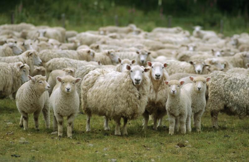 Маточное поголовье овец в Северной Осетии до 2022 года планируют увеличить вдвое