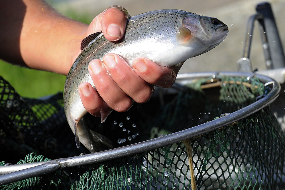 В Северной Осетии планируют к 2025 году увеличить производство рыбы в 30 раз