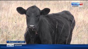 В Моздокском районе по грантовой программе увеличено поголовье крупного рогатого скота