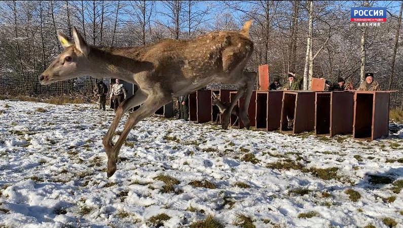 В Верхней Санибе выпустили 10 европейских благородных оленей