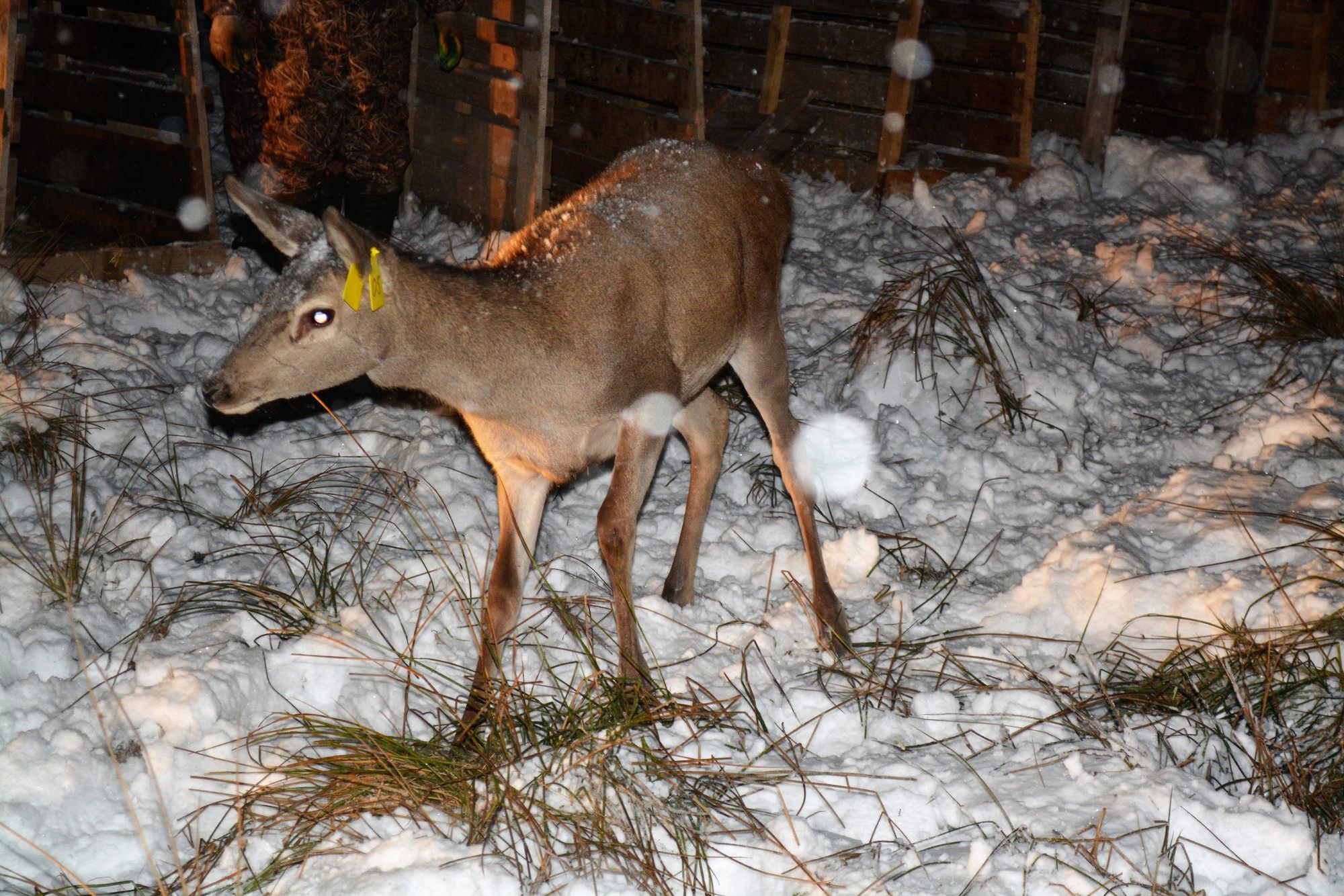 В Северной Осетии выпустят 10 европейских благородных оленей