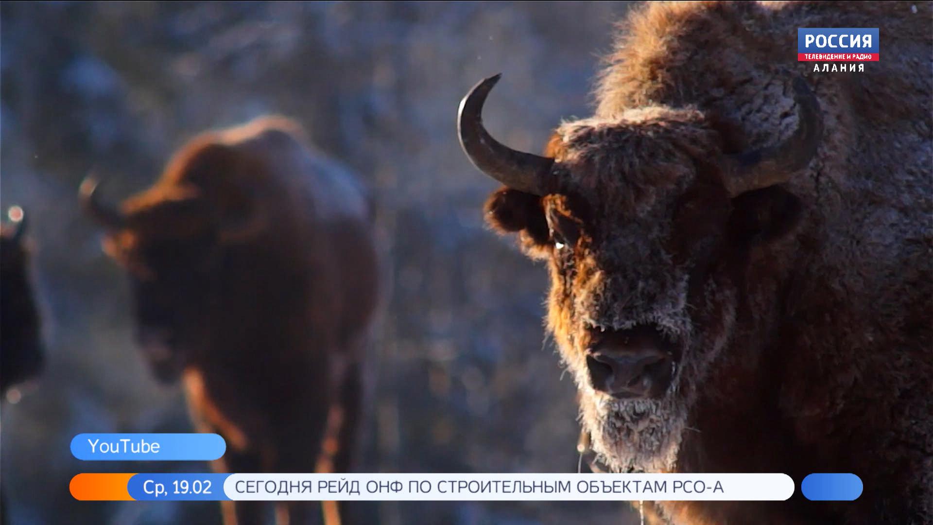 В Северной Осетии продолжается зимний учет зубров