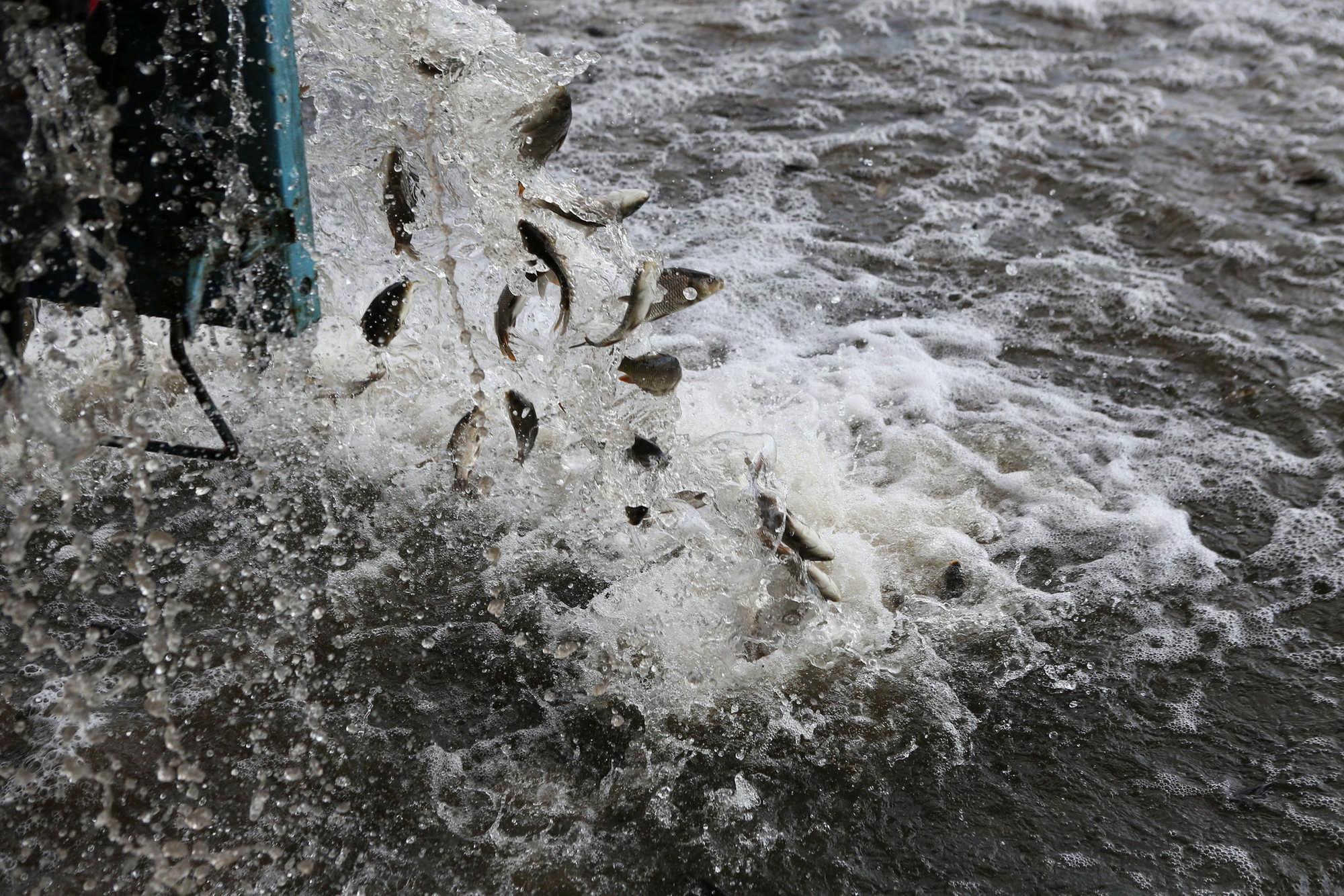 В Северной Осетии в приток Терека выпустили более 30 тыс. мальков форели