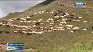 Североосетинские фермеры используют субсидии для развития овцеводства