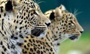 В дикую природу Северной Осетии выпустят леопардов Батраза и Агунду