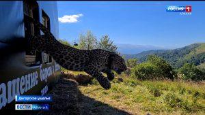 В Турмонском заказнике выпустили леопардов Батраза и Агунду