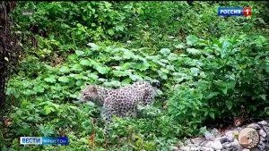 Дыууæ кавказаг леопарды абон рауадздзысты Цæгат Ирыстоны хъæддаг æрдзмæ