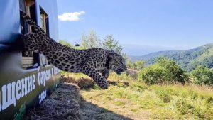 Леопарды Батраз и Агунда адаптируются в горах Северной Осетии