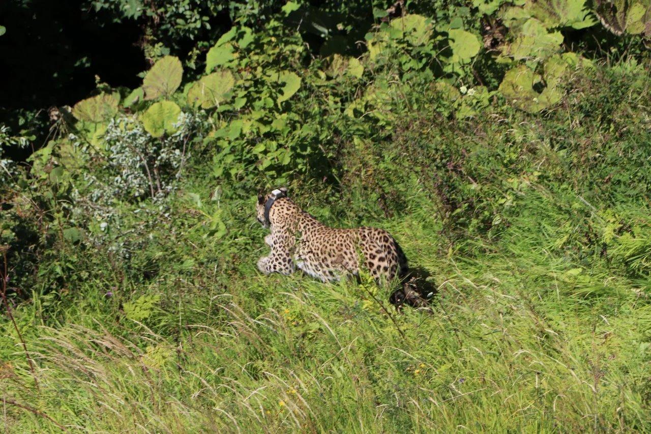 Выпущенные в Турмонский заказник переднеазиатские леопарды продолжают осваивать территорию