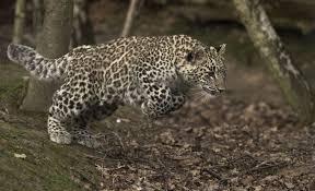 Ученые получили возможность расшифровать данные с ошейника леопарда Волна