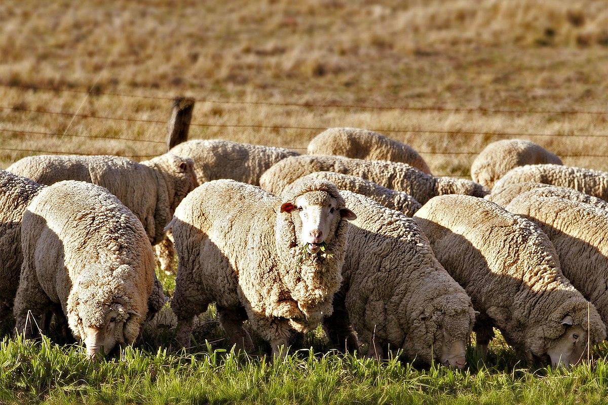 В Северной Осетии растут показатели в сфере овцеводства – Казбек Марзоев
