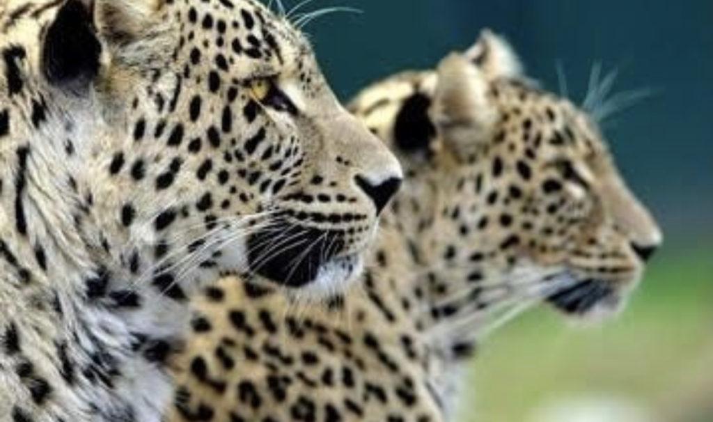 Леопарды Батраз и Агунда, выпущенные в Турмонском заказнике,  расширяют свои владения