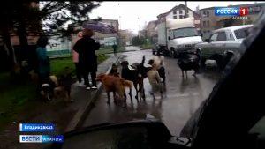 Весеннее обострение: жители Владикавказа жалуются на агрессивных бродячих собак, а в городском питомнике уже не хватает вольеров